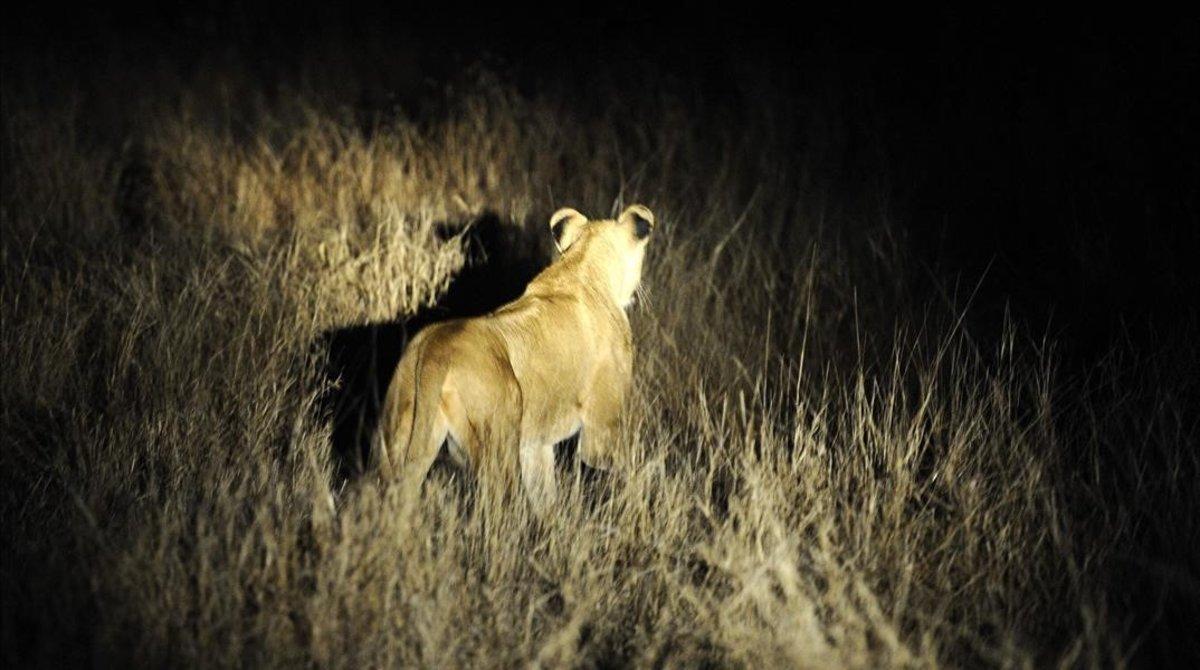 Una de las leonas fugadas.
