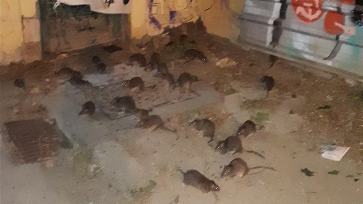 Ratas en Barcelona.