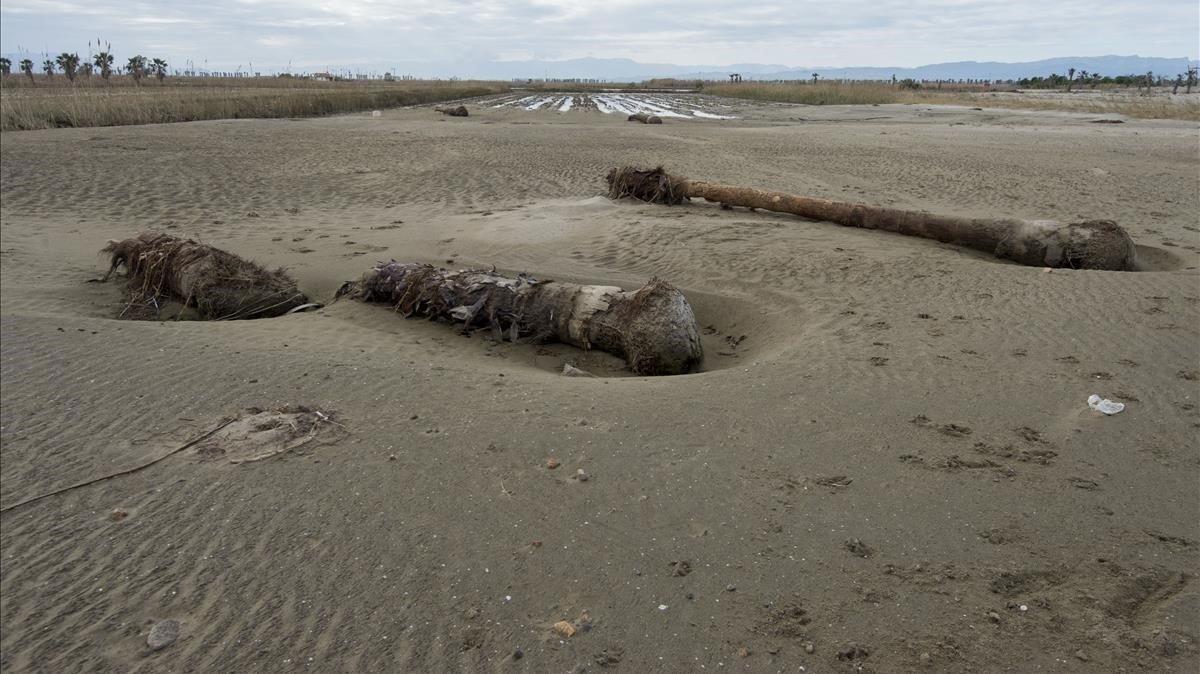 Los fuertes vientos causados por la borrasca Gloria también arrancaron árboles de cuajo en la zona de la desembocadura del río Ebro