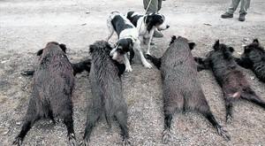 Cos a terra 8 Dos gossos ensumen els cossos sense vida de diversos senglars després duna jornada de caça a lAlt Empordà.