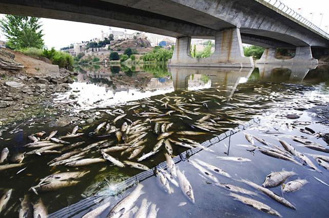 Miles de peces, entre elloscarpas y carpines, que aparecieron muertos en el 2012 a su paso por Toledo