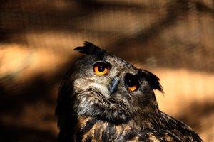 EPA6219. JOHANNESBURGO (SUDÁFRICA), 24/10/2018.- Un búho real permanece en su recinto del zoológico Joburg de Johannesburgo, Sudáfrica, hoy 24 de octubre de 2018. A pesar del gran tamaño de esta especie, no supera los 4 kg de peso. Se alimenta de pequeños mamíferos y a lo largo de su vida pone 2 o 3 huevos en nidos que suele construir en árboles o en lo alto de los acantilados. Es una especie muy común en el Norte de África, África y Europa. EFE/ Kim Ludbrook