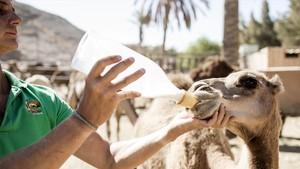 Centro de cría de camellos en el Oasis Park de Fuerteventura.