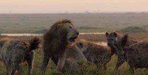 L'anguniós vídeo de l'atac d'unes hienes a un lleó, que salva la seva vida gràcies a un altre felí