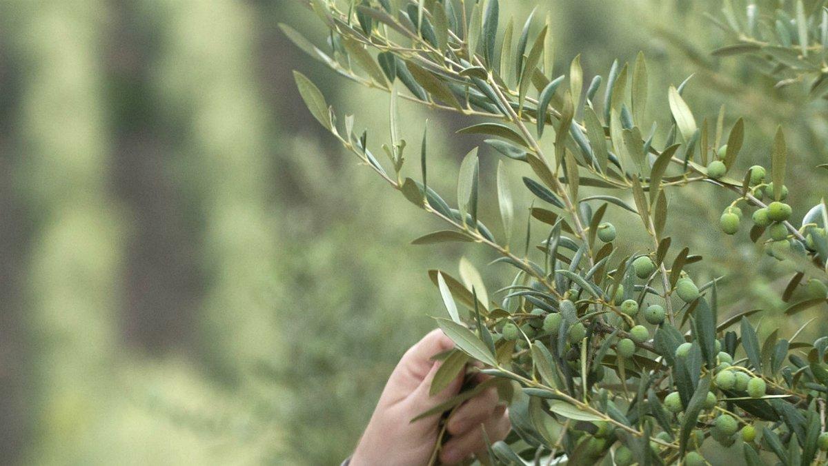 Un olivo en una explotación de Lleida.