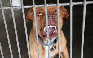 Un perro de razaPitbull en una jaula.