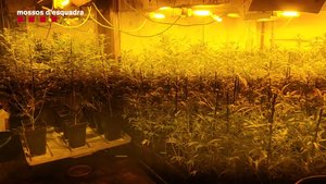 La plantación de marihuana desmantelada por los Mossos en un piso de L'Hospitalet.