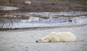 Un os polar es deixa veure pels carrers d'una ciutat minera al nord de Sibèria