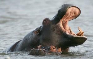 Dos hipopótamos nadando en el estuario de Santa Lucía, a unos 200 km al norte de la ciudad Durban, en Sudáfrica.