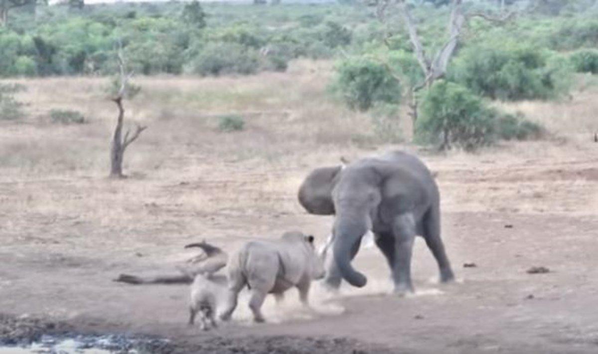 El tenso enfrentamiento entre un elefante y una mamá rinoceronte para proteger a su cría