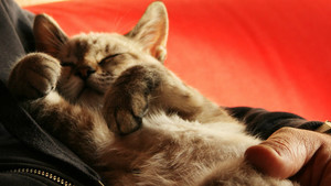 Un gato bebé durmiendo plácidamente