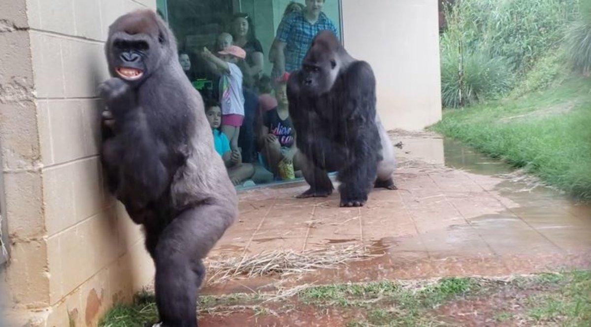 la mejor actitud ef7c7 6dcdf Vídeo | La huida de un grupo de gorilas ante la lluvia en un zoo