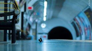 Una baralla de ratolins al metro de Londres, millor foto de natura de l'any