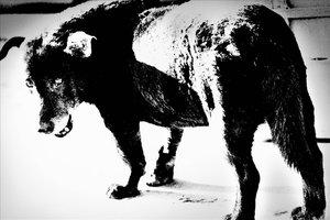 'Perro callejero', de Daido Moriyama.