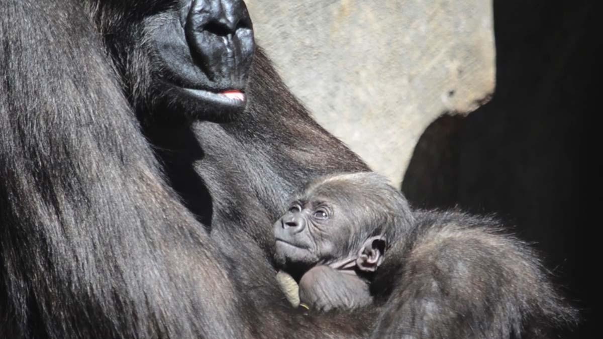 852f6808c371 El bebé gorila del Bioparc de Valencia se llama Félix en honor a Félix  Rodríguez de