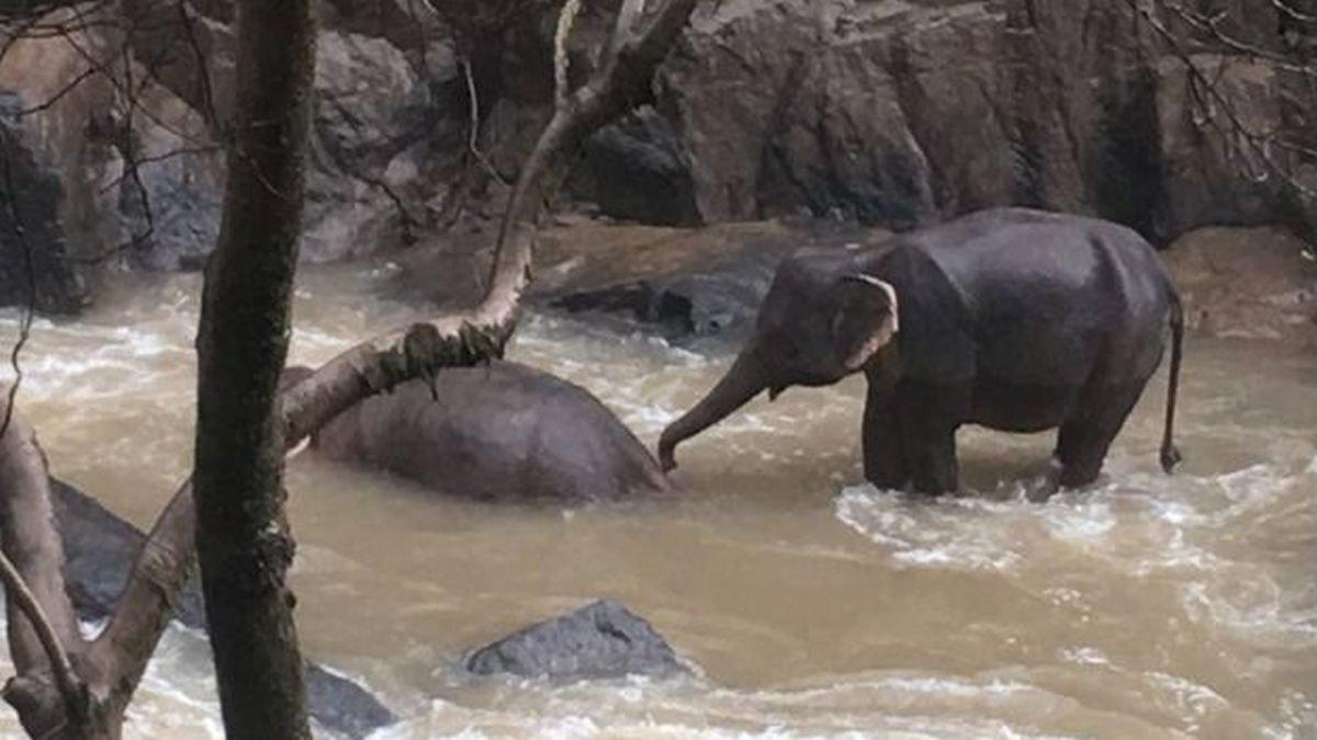 Un elefante intenta ayudar a un compañero muerto en la cascada.