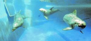 UN MAMÍFERO EXTRAORDINARIO Kuni, Leia, Anak, Blau, Tumay y Nuiknadan con simpática elegancia en las aguas del delfinario del Zoo.