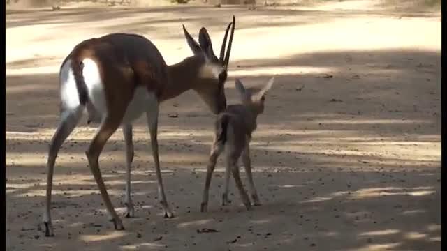 Nace una nueva cría de gacela común en el Zoo de Barcelona