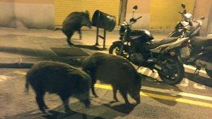 Tres jabalís en la calle de Amèrica en el barrio barcelonés de El Guinardó.