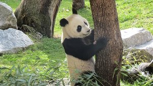 Un panda en el Zoo Aquarium de Madrid.
