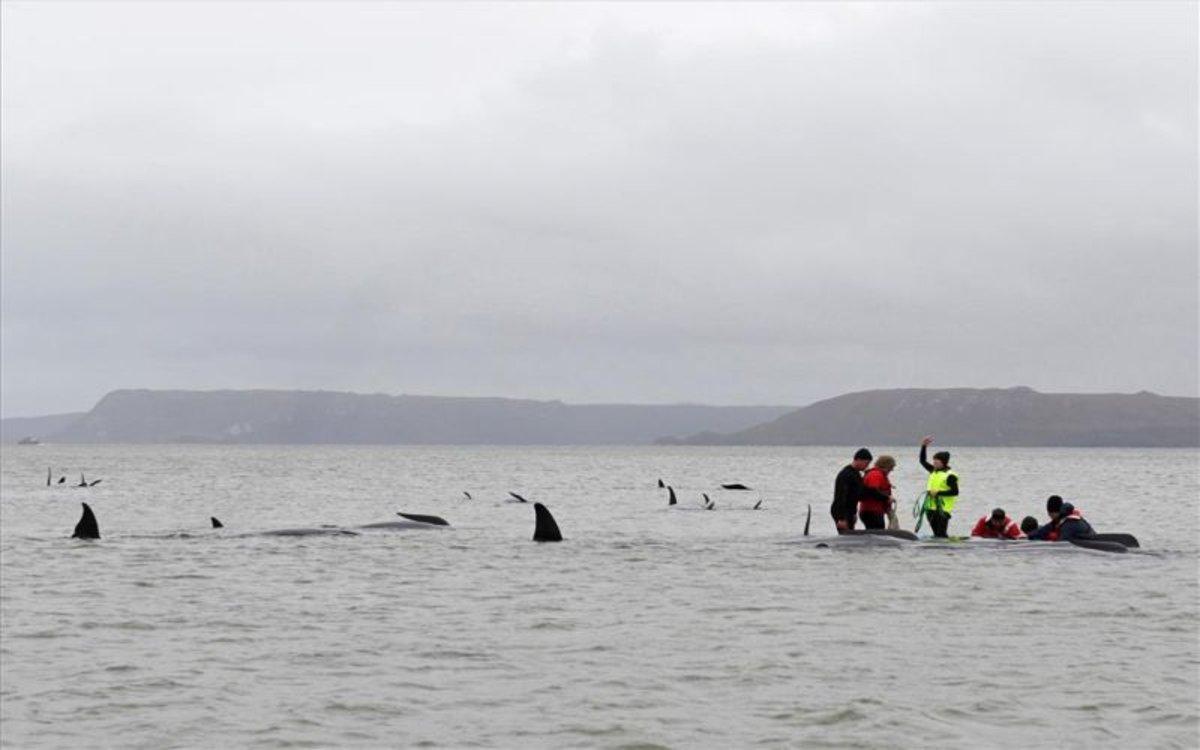 Rescate de las ballenas muertas enen la bahía de Macquarie, en Tasmania.