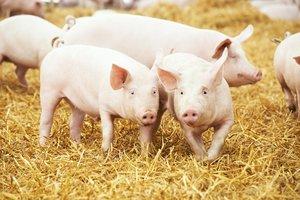 En los cerdos, la resistencia a los antibióticos en los países analizados ha pasado del 13% al 34% en los últimos 18 años.