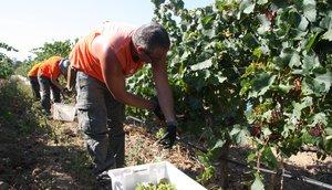 Trabajadores del Celler Espelt, de la DO Empordà, recogiendo uva en una imagen de archivo.