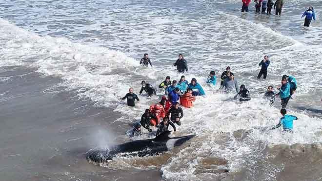 Emocionante rescate de un grupo de orcas en una playa de Argentina.
