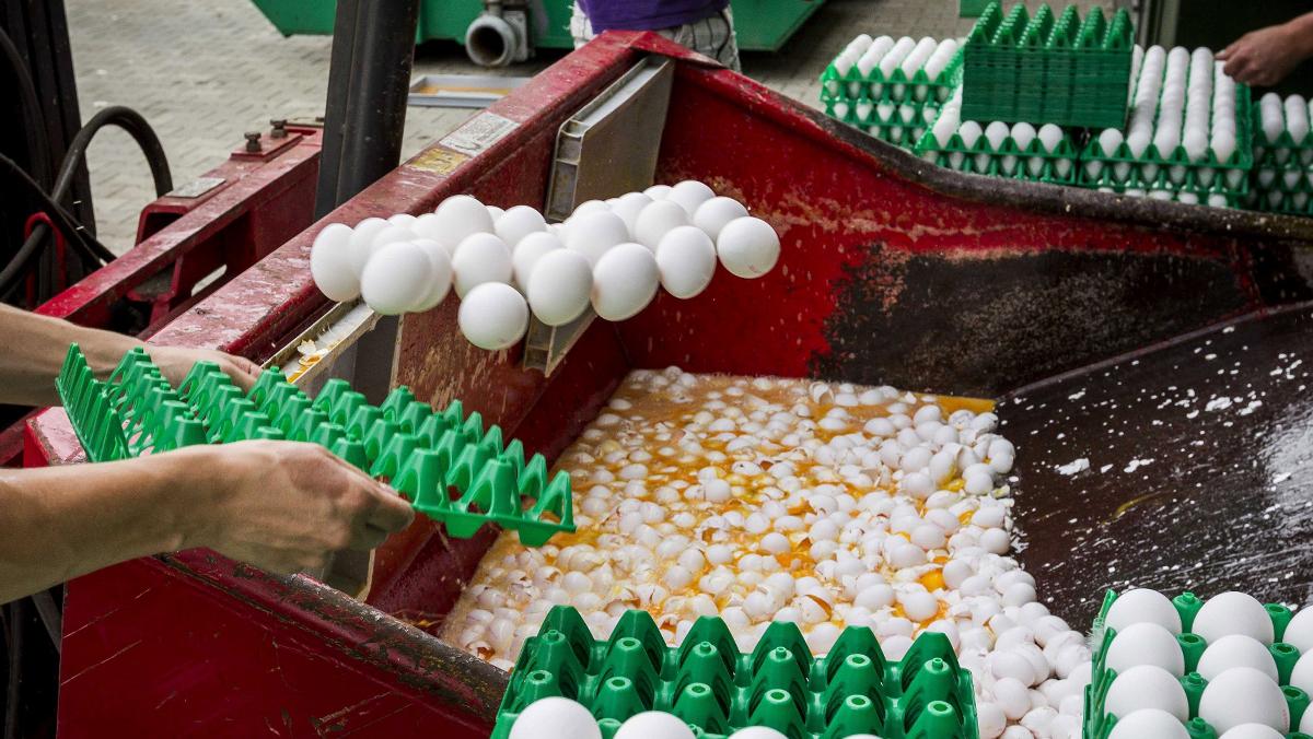 Holanda destruye su producción. Francia, Reino Unido, Suiza y Suecia analizan huevos por el caso del fiproni.
