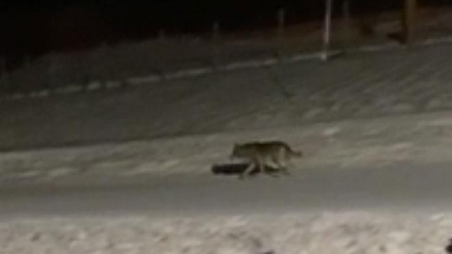 Gravat un llop a les pistes de Núria
