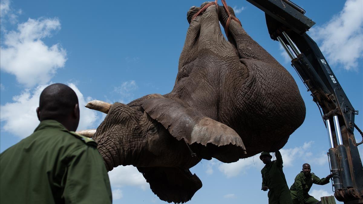 Los efectivos de la reserva natural de Kenia cargan un cadáver de elefante en un camión.