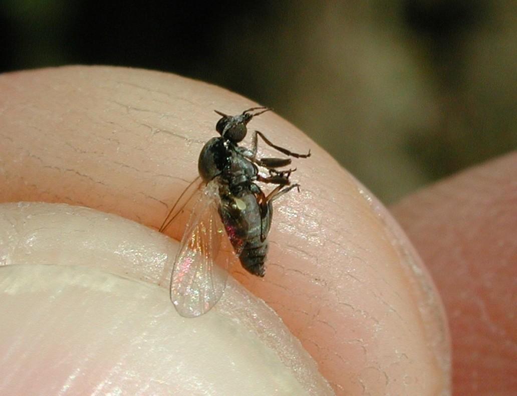 Ejemplar de mosca negra.