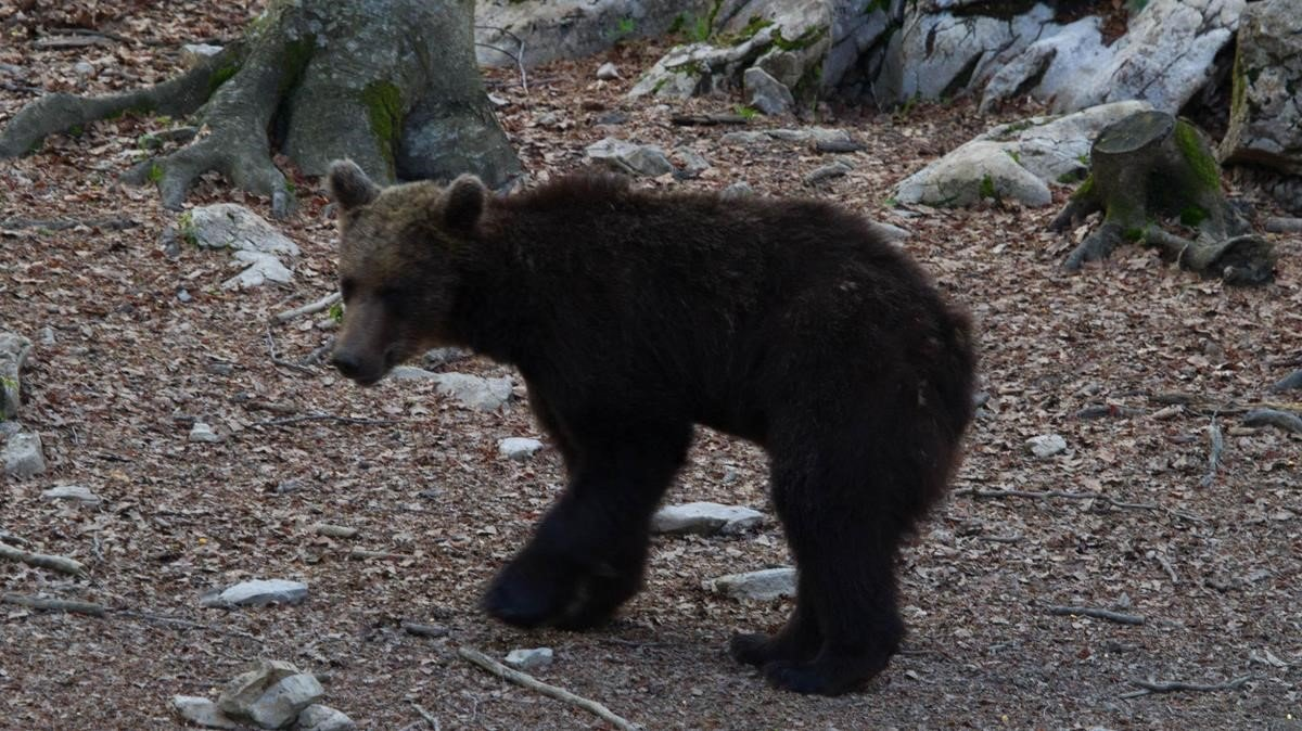 El oso Goiat liberado en los Pirineos en el año 2016.