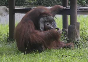 Ozon, el orangután del zoo de Bandung (Indonesia), tristemente famoso por fumar la colilla lanzada por un turista.