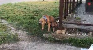 Rock, el perro abandonado y atado a una columna cuya historia tiene final feliz