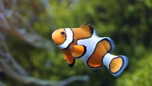 Científics aconsegueixen seqüenciar el genoma de Nemo, el peix pallasso