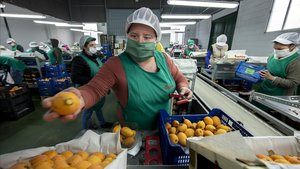 RaquelLlinares, extrabajadora de hostelería, ha empezado a trabajar colocando fruta en Callosa d' en Sarria (Alicante).
