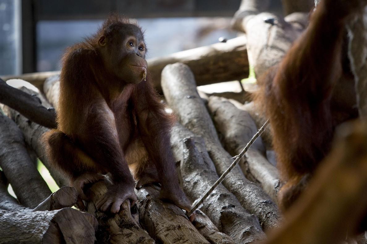 Uno de los inquilinos del espacio dedicado a los orangutanes.