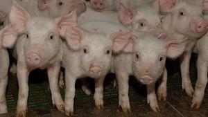 España, líder en cerdos y en purines