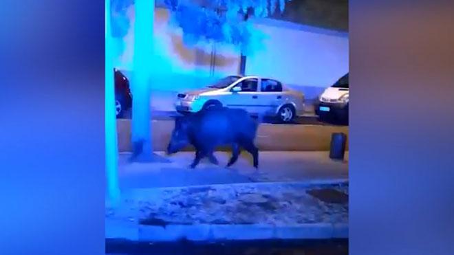 Un jabalí camina por las calles de Reus.