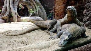 Asmara, debajo, durante su apareamiento con Guntur, dos años antes de que explorara la maternidad por partogénesis.