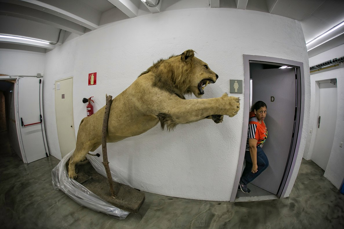 El león disecado encontrado en Castelldefels.