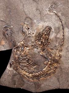 Fósil del 'Spinolestes xenarthrosus'.