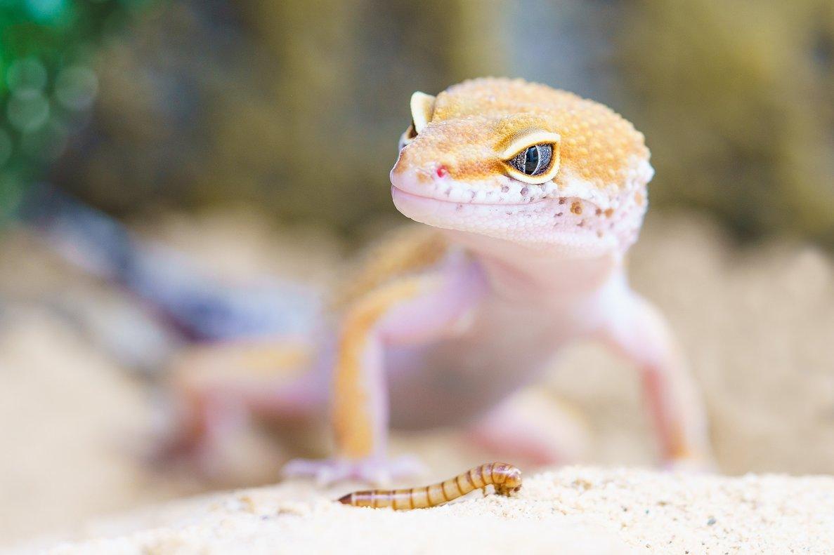 Come un lagarto y muere una semana después con orina negra, fiebre y diarrea