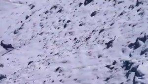La impactante persecución de un leopardo de las nieves a su presa