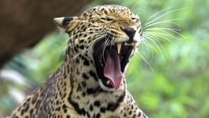 Un leopardo, en un zoo de Bangkok.