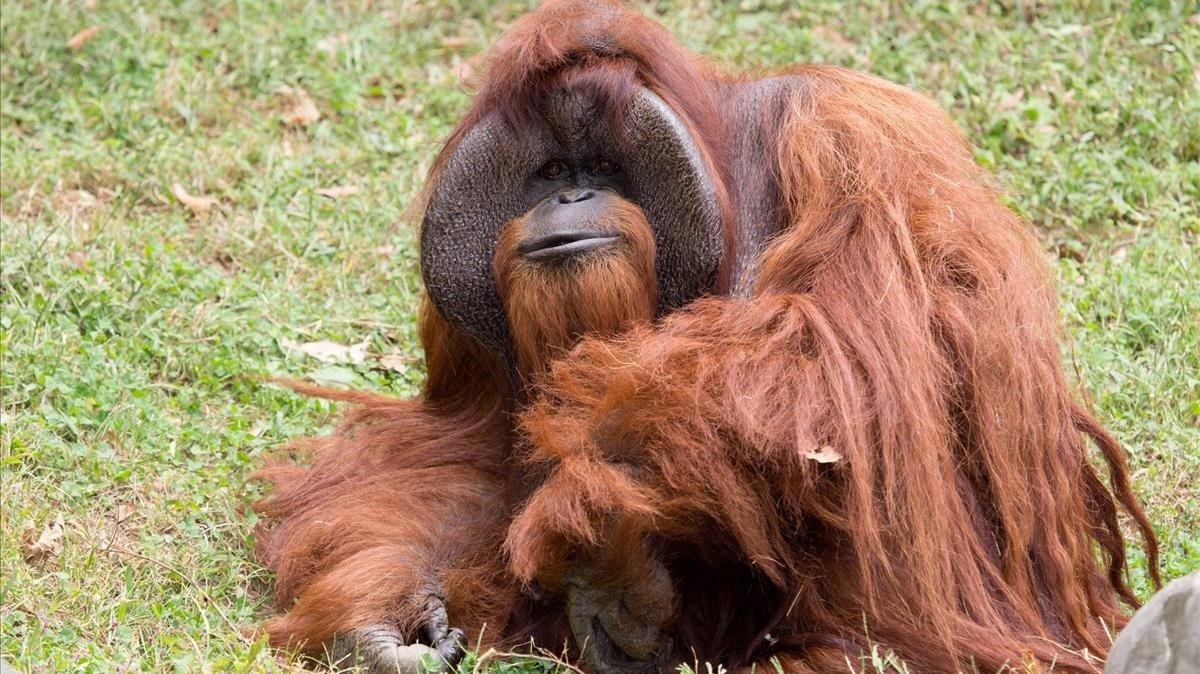 Un orangután en un zoo de Atlanta