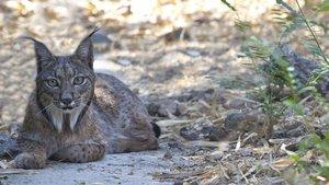 Denuncien la mort de quatre linxs per caçadors a Castella-la Manxa