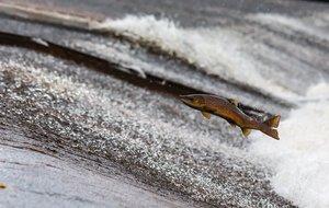 Decenas de salmones cruzan una carretera tras el desborde de un río
