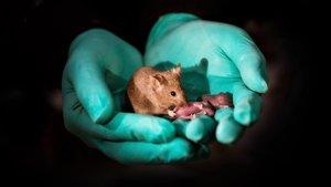 Ratón nacido de dos madres con sus respectivos hijos biológicos, lo que demostraría que estos animales no tan solo nacen sanos sino que además pueden reproducirse